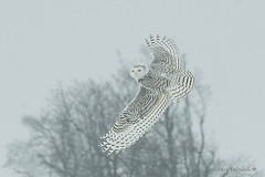 Snowy Owl does the once over.. (Earl Reinink) Tags: owl snowyowl bird animal winter cold outside wings eyes white feathers nature birdinflight earl reinink earlreinink nycteascandiaca ziiddaudza tree