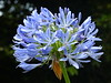 Tresco Abbey Gardens: Agapanthus (Marit Buelens) Tags: trescoabbeygardens tresco islesofscilly scillies blue nature exotic africanlily lilyofthenile agapanthus