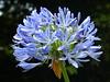 Tresco Abbey Gardens: Agapanthus (Marit Buelens) Tags: trescoabbeygardens tresco islesofscilly scillies blue nature exotic africanlily lilyofthenile agapanthus