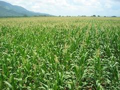 Maizal  de maíz (prong4) Tags: prong4 pedro regalado ordóñez