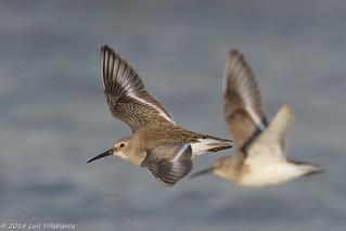 Dunlins in flight