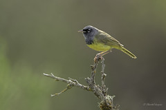 A rare encounter- Macgillivray warbler (Chantal Jacques Photography) Tags: macgillivraywarbler wildandfree bokeh rareencounter