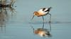 American Avocets (f) (Bob Gunderson) Tags: americanavocet birds california northerncalifornia pier94saltmarsh recurvirostraamericana sanfrancisco shorebirds