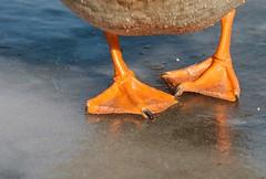 Duck Feet (Karen_Chappell) Tags: duck bird feet webbed orange ice nature park stjohns bowringpark newfoundland nfld winter animal canada atlanticcanada