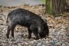 Wild piglet (KWaterhouse) Tags: pig piglet wildpig babyanimal circlebbarreserve lakeland polkcounty florida usa nikond5300 grey gray