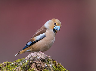 Hawfinch (Coccothrauste)