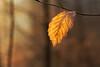 Last leaf II (Sebo23) Tags: leaf blatt makro macro makrofotografie licht light lichtstimmung lichtschatten nature naturaufnahme natur nahaufnahme canon6d canon10028l