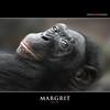 MARGRIT (Matthias Besant) Tags: affe affen affenfell animal animals ape apes pygmychimpanzee fell zwergschimpanse hominidae hominoidea mammal mammals menschenaffen menschenartig menschenartige monkey monkeys primat primaten saeugetier saeugetiere tier tiere trockennasenaffe bonobo schauen blick blicken augen eyes look looking margrit zoo zoofrankfurt matthiasbesant hessen deutschland