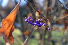 Callicarpa (marinela 2008) Tags: callicarpajaponica marinela2008 autumn fall berry bucharestbotanicalgarden