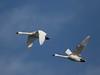 Tundra Swan (Cygnus columbianus) (Howard21042) Tags: tundraswan swan maryland