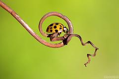 Naturally Framed (Vie Lipowski) Tags: ladybug ladybird ladybeetle tendril insect beetle bug backyard garden wildlife nature macro speckled