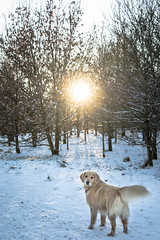 (Chris B70D) Tags: dundee scotland hill hills sidlaw mountain range sidlaws east coast city weekend saturday winter snow blue clear sky perfect powder bright detail texture focus light landscape nature outdoors portrait canon 18135 zoom raw edit sharp walk hike climb travel ziggy golden retriever dog pup buddy cute face ears nose play happy bandanna walkies cold frozen freezing calm silent beautiful scenery view angus perth fife