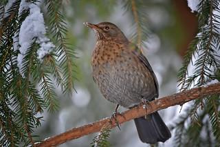 One of 5 snowy days in Finland. Winter 2018. Blackbird (female) on the tree in my backyard ⛄