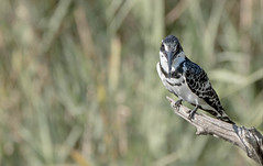 Pied Kingfisher (dunderdan77) Tags: pied kingfisher wildlife bird nature park kruger national south africa nikon tamron wing fly wings beak lake panic safari outdoor outdoors