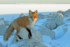 Two Below (marylee.agnew) Tags: red fox vulpes cold winter invisble nature frozen wildlife canine predator ice snow