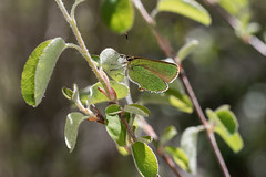 Callophrys rubi (Sinkha63) Tags: faune insecta papillon argus argusvert callophrys callophrysrubi greenhairstreak lycaenidae lycaeninae theclinae thécla thécladelaronce butterfly lepidoptera animal macro nature wildlife amelanchier amelanchierovalis serviceberry entrages provencealpescôtedazur france fra