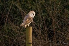Ever Watchful (JDS-photo) Tags: barnowl tytoalba barny wildbarnowl owl bird birdofprey wildowl post wildlife nature winter lightroom canoneos80d canonef400mmf56lusm