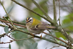 Firecrest (Georgiegirl2015) Tags: birds firecrest crests wildlife wales woodlands water bushes river countryside cardiff canon dellalack january2018 visitor avian busy leaf sophiagardens