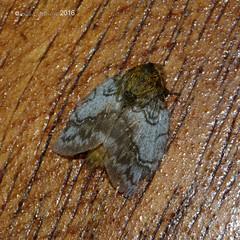 moth  (awaiting ID) (LPJC) Tags: moth noctunal cockoftherocklodge manuroad manu peru 2016 lpjc