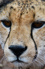 Portrait guépard/ Cheetah south Africa_4157 (ichauvel) Tags: portrait closeup guépard cheetah félin animal faune fauna sauvage wilde krugerpark southafrica afriquedusud exterieur outside regard eyes beautédelanature beautyofnature mpumalanga getty