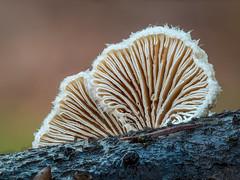 Winterpilze 2 (dr.klaustrumm) Tags: pilz spaltblättling schizophyllum moos wald äste stack