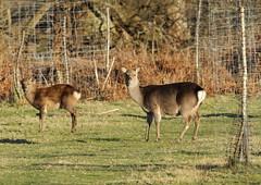 IMG_0368 Arne Deer (dwarren16011) Tags: deer rspb arne