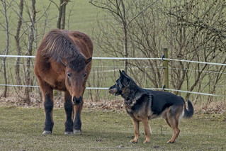 Rammstein the Dog is teasing the Iceland Horses