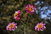 My Dahlias (Dahlia La Cierva) (natureloving) Tags: dahlialacierva macro bokeh dof flower nature flowersinfrance fleursenfrance flowersineurope natureloving nikon d90 afsvrmicronikkor105mmf28gifed