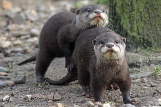 smallclawed otter Hoenderdaell BB2A4743
