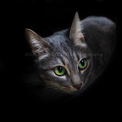 In The Dark (designldg) Tags: catmodel cat catlove feline greeneyes ©laurentgoldstein beauty fur portrait square photography panasonicdmcfz200 photoshoot photo expression composition chiaroscuro clairobscur petphotography pet animal cute atmosphere mystery