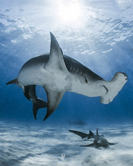 Bimini Blue (santosh_shanmuga) Tags: hammerhead great nurse shark fish animal nature wild wildlife outdoor outdoors nikon d4 nikonos rs 13mm nauticam inon bimini bahamas dive diving underwater scuba snorkel ocean saltwater
