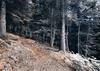 Fortingall Forest 20170809_9600 (ronniefleming@btinternet.com) Tags: fortingall perthshire glenlyon scotland aberfeldy walkhighlands visitscotland ronnieflemingph31fy woodland douglasfir scottishpine