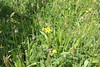 Wildflowers at Tattenhoe Park - May 2017 (The Parks Trust) Tags: theparkstrust tattenhoe wildflowers wildflower naturalhistory nature spring2017 spring