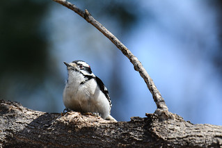 Downy Woodpecker, Pic mineur, Picoides pubescens