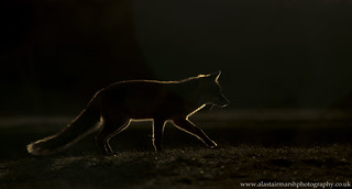Backlit Fox