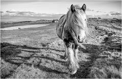Cockfield Fell . (wayman2011) Tags: f2 fujifilmxf23mm lightroomfujifilmxt10 wayman2011 bwlandscapes mono rural horses pennines dales teesdale cockfield countydurham uk