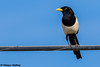 Yellow-billed Magpie (Pica nuttalli) - Solvang, CA (bcbirdergirl) Tags: yellowbilledmagpie ca california us usa solvang endemictocalifornia californiaendemic magpie picanuttalli corvid santabarbaracounty
