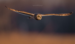 Short Eared Owl NJ (stephenwalshphoto) Tags: