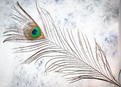 Feather (Mule67) Tags: feather peacock texture screen light box