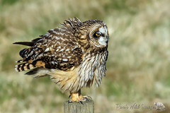 I'm Not Fat...I'm Fluffy (PamsWildImages) Tags: owl bc bird britishcolumbia beautiful shorteared canada canon canonef100400mmlens nature naturephotographer wildlife wildlifephotographer pamswildimages pammullins