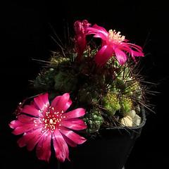 Sulcorebutia polymorpha VJ29 '462' (Pequenos Electrodomésticos) Tags: cactus cacto flower flor sulcorebutia sulcorebutiapolymorphavj29