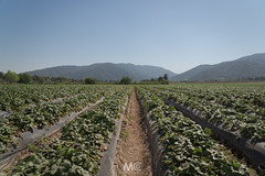 Yummie! (Mariano Colombotto) Tags: lules tucuman argentina landscape nature field naturaleza paisaje hills cerros strawberry fruit frutillas campo nikon travel photographer photography ngc