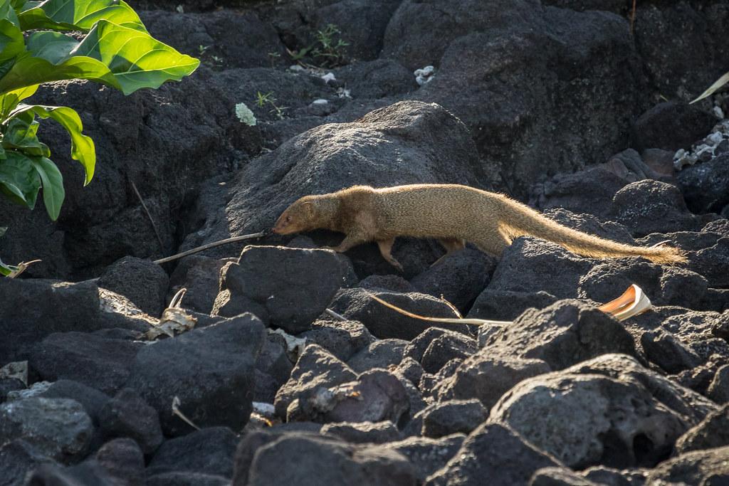 7280a2e83d 8F9A6467 (ericvdb) Tags  mongoose hawaii puuhonuaohonaunau  nationalhistoricpark bigisland