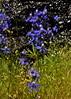 Delphinium, Fresno Co, CA (RonParsonsflowershots) Tags: ca delphinium fresnoco