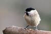 Oiseaux du jardin (Ariège) (PierreG_09) Tags: seix ariège pyrénées pirineos couserans faune oiseau jardin mésangenonnette poecilepalustris marshtit carboneropalustre viitatiainen sumpfmeise régulidés occitanie