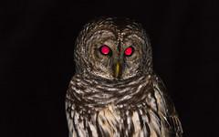 barred owl (explored 01/10/2018) (Lynn Tweedie) Tags: barred eyes red brown missouri night explore releasethememo