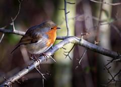 Robin (Colin-47) Tags: robin bird norfolk colin47 eos6d ef70300mmf4556isiiusm january 2018 winter erithacusrubecula explore european europeanrobin