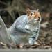 Grey Squirrel (Whistling Joe) Tags: whistlingjoe canoneos7dmkii canonef100400mmf4556lismkiiusm rspb minsmere grey squirrel