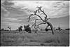 Gnarly tree (Joshua Perera Photography) Tags: tree gnarly gnarled ilford panf 50 rodinal stand dev developed clouds field long grass twisted 28mm f28 countryside country sky