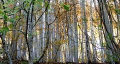 Peyras (Vallée de Campan, Hautes-Pyrénées) (caminanteK) Tags: hayedo hétraie campan valléedecampan peyras automne